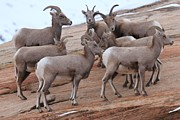 Big Horn Sheep Photos - The Senate by Adam Jewell