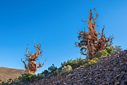 Oldest Living Tree Posters - The Sentinels - Ancient Bristlecone Pine Forest. Poster by Jamie Pham
