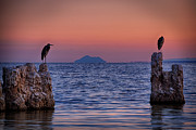 Herons Photos - The Sentinels  by Peter Tellone