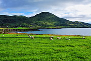Flock Of Sheep Prints - The Shepherds Way - County Kerry - Ireland Print by Aidan Moran