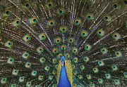 Peafowl Photos - The Show Off by Sandra Bronstein