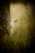 Easter Photographs Posters - The Shy Lamb Poster by Loriental Photography