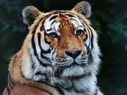 Siberian Tiger Photo Posters - The Siberian King Poster by Pete Reynolds