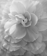 Silver And Black Prints - The Silver Lady Begonia Flower Print by Jennie Marie Schell