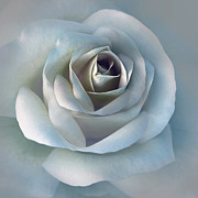 Light Blue Grey Posters - The Silver Luminous Rose Flower Poster by Jennie Marie Schell