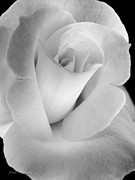 Silver And Black Framed Prints - The Silver Rose in Portrait Framed Print by Jennie Marie Schell