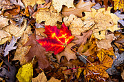 Red Leaves Photos - The Single Red Leaf by Avery Hays