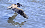 Pelican Photos - The Skimmer by AJ  Schibig