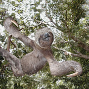 Sloth Metal Prints - The Sloth  A Real Tree Hugger Metal Print by Bruce Stanfield