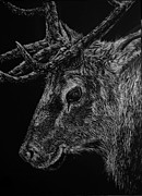 Elk Drawings - The Sly Elk by Nathan Cole