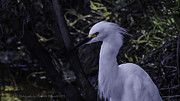 Claudette DeRossett - The Snow Egret...