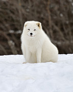 Joshua Mccullough Photography Prints - The Snow Fox Print by Joshua McCullough