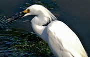 Amy Maloney - The snowy egret and the...