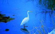Tim Ernst - The snowy white Egret