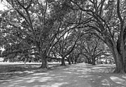 Evergreen Plantation Prints - The Southern Way bw Print by Steve Harrington