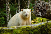 White Salmon River Prints - The Spirit Bear Print by Melody and Michael Watson