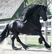 Friesian Posters - The Spirit of the Friesian Poster by Royal Grove Fine Art