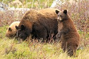 Black Bear Cubs Photos - The Spotter by Adam Jewell