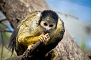 Swift Family - The Squirrel Monkey