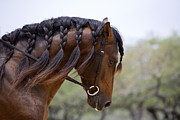 Austin Tx Posters - The Stallions Braided Mane Poster by Carol Walker