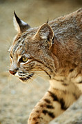 Male Bobcat Prints - The Stare Print by JP Schulman
