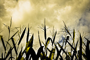 Corn Stalks Posters - The Storm Poster by Wendy Mogul