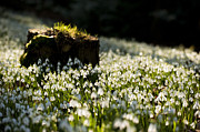 Wintry Photo Prints - The Stump and the Snowdrops Print by Anne Gilbert