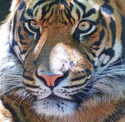 The Superb Sumatran Tiger Print by Margaret Saheed