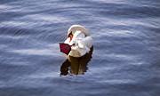 The Swan Print by Nadya Ost