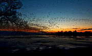 Canadian Geese Digital Art Posters - The Swarm Poster by Matt Molloy