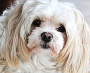 Maltese Puppy Photos - The Sweetest Maltese by Lisa  DiFruscio