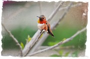 Migrating Hummingbird Framed Prints - The Sweetness of Spring - Fine Art by Lynn Bauer Framed Print by Lynn Bauer