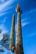 Spines Posters - The Tall Saguaro Cactus Poster by Robert Bales
