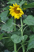 Lisa  DiFruscio - The Tallest Sunflower