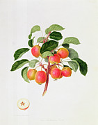 Green Apples Posters - The Tartarian Crab Apple Poster by William Hooker