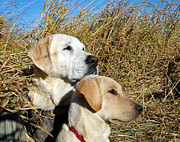 Attentive Labrador Dog Photos - The Team by Jean Noren