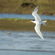 Tern Framed Prints - The Tern Sq Framed Print by Ernie Echols