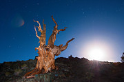 Oldest Living Tree Posters - The Test of Time - Lightpainting the Ancient Bristlecone Pine Tree with star trails. Poster by Jamie Pham
