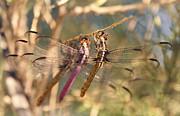 Saija  Lehtonen - The Three Dragonflies