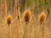 Thistles Photos - The Three Thistles by Jennie Marie Schell