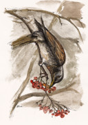Bird Art Drawings Prints - The Thrush eating cranberries Print by Angel  Tarantella