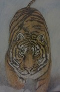 League Drawings - The Tiger by Christy Brammer