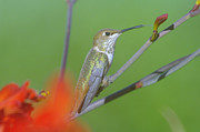 Small Birds Prints - The tongue of a humming bird  Print by Jeff  Swan