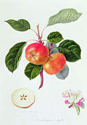 Flora Painting Prints - The Trumpington Apple Print by William Hooker