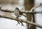 Lisa Moore - The Tufted Titmouse on...