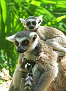 Margaret Saheed Prints - The Twins - Ring-tailed Lemurs Print by Margaret Saheed