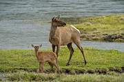 Elk Photos - The Two Of Us by Sandra Bronstein