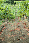 Sonoma County Vineyards. Metal Prints - The Vines Metal Print by Ariane Moshayedi