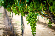 Grape Vineyard Prints - The Vineyard Print by David Morefield