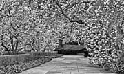 Hybrid Lily Framed Prints - The Walk BW Framed Print by JC Findley